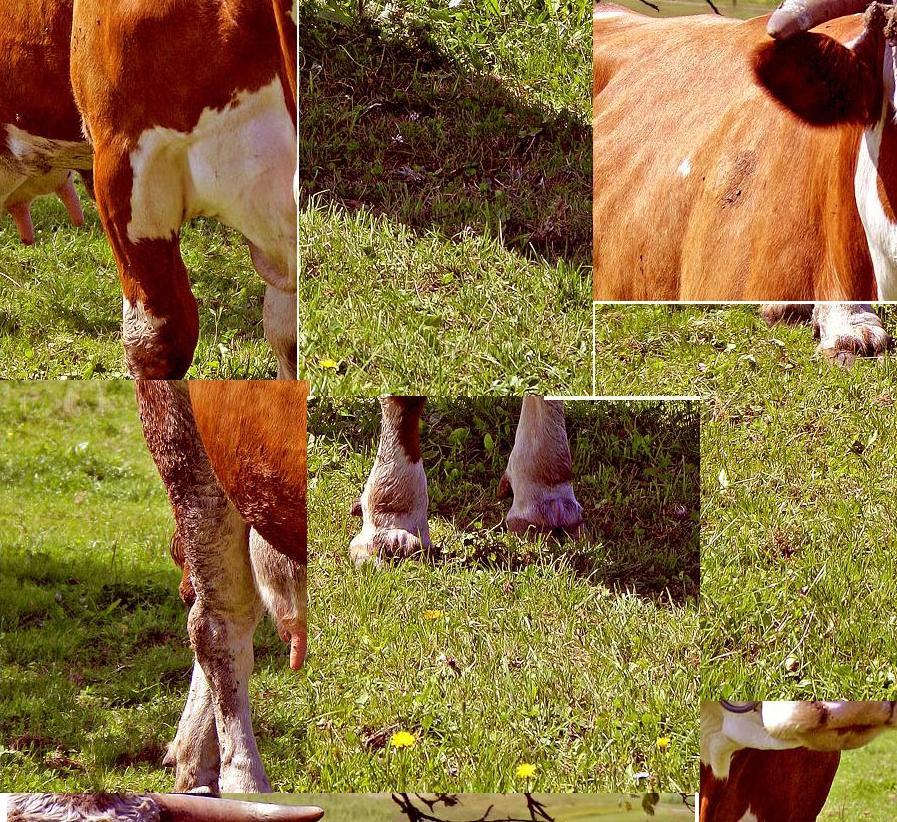krava izmješano